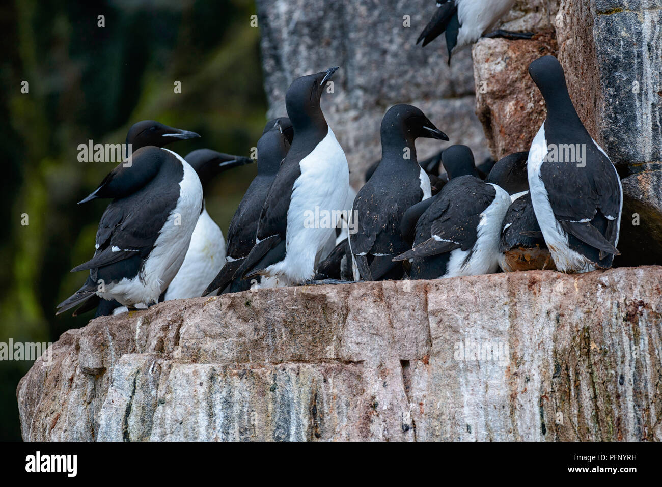 Colony of thick-billed murres at Alkefjellet, Svalbard, Norway. Stock Photo