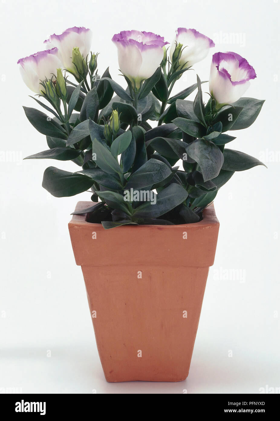 Prairie Gentian, Eustoma grandiflorum, in a plant pot. - Stock Image
