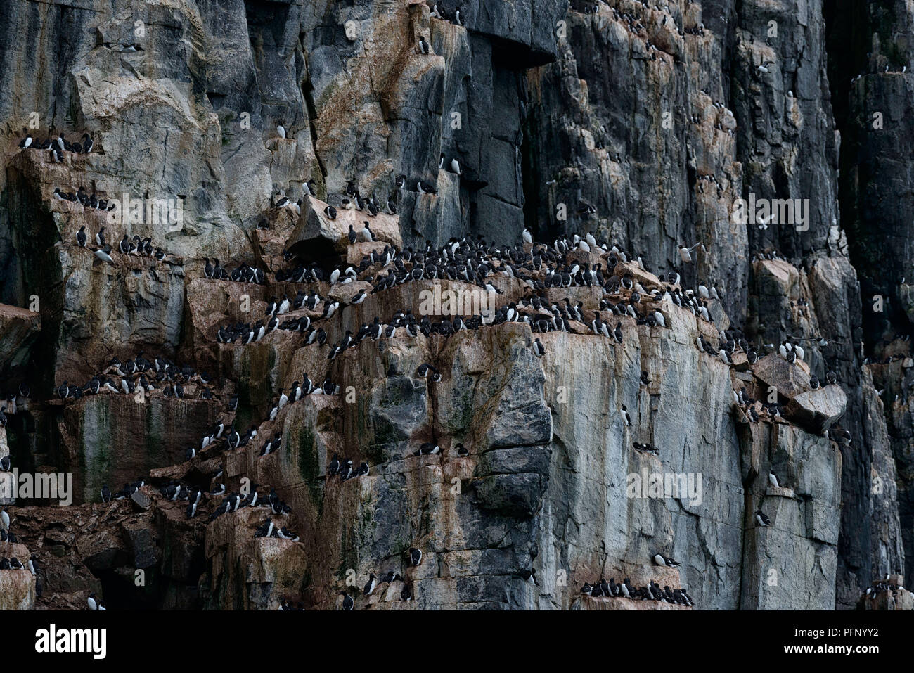 Colony of thick-billed murres at Alkefjellet, Svalbard, Norway Stock Photo