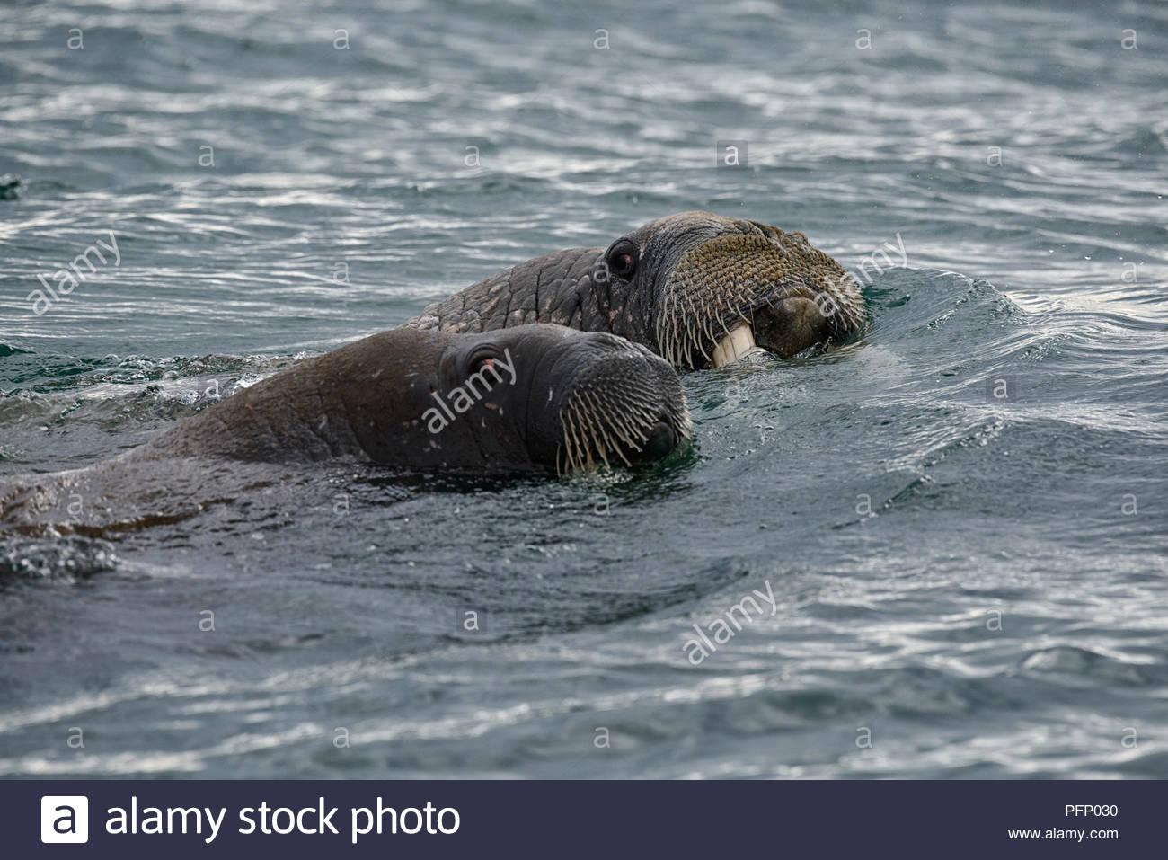 Walrus (Odobenus rosmarus),  in sea at Torellnesfjellet, Nordaustlandet, Svalbard, Norway Stock Photo