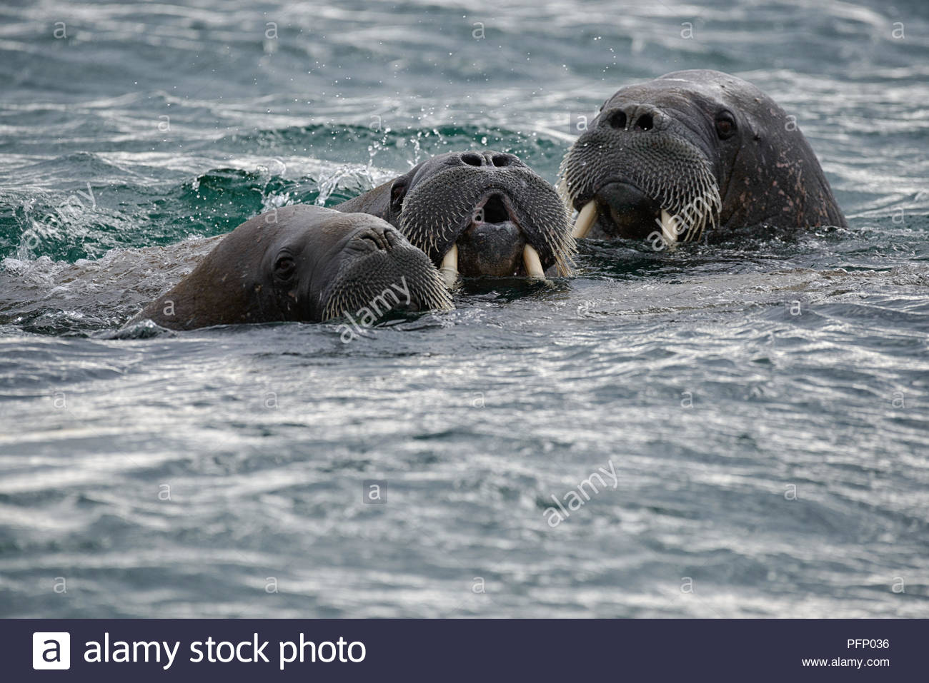 A group of walruses in sea at Torellnesfjellet, Nordaustlandet, Svalbard, Norway, 2018 - Stock Image