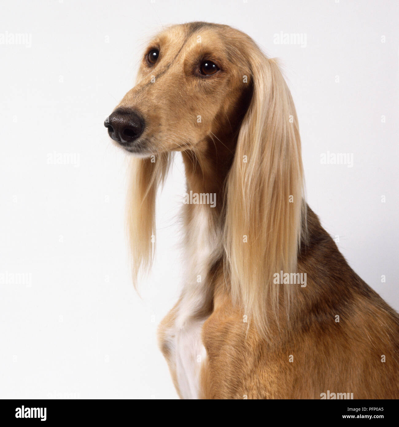 A Pale Tan Saluki With Short Hair On Its Face And Soft Silky