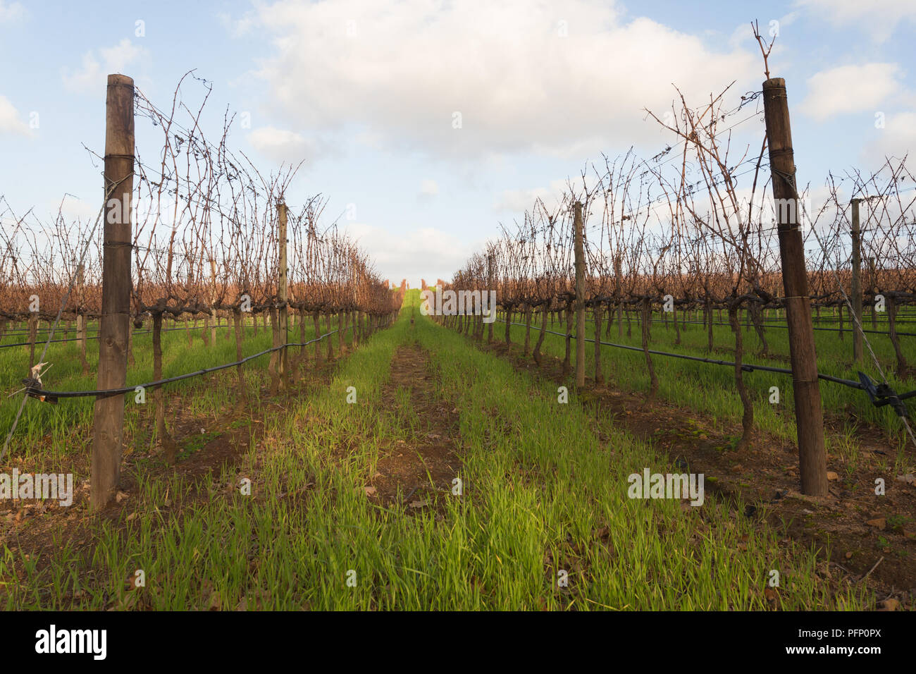 path through bare grapevines in a vineyard in Winter at Groot Constantia wine estate in Cape Town South Africa Stock Photo