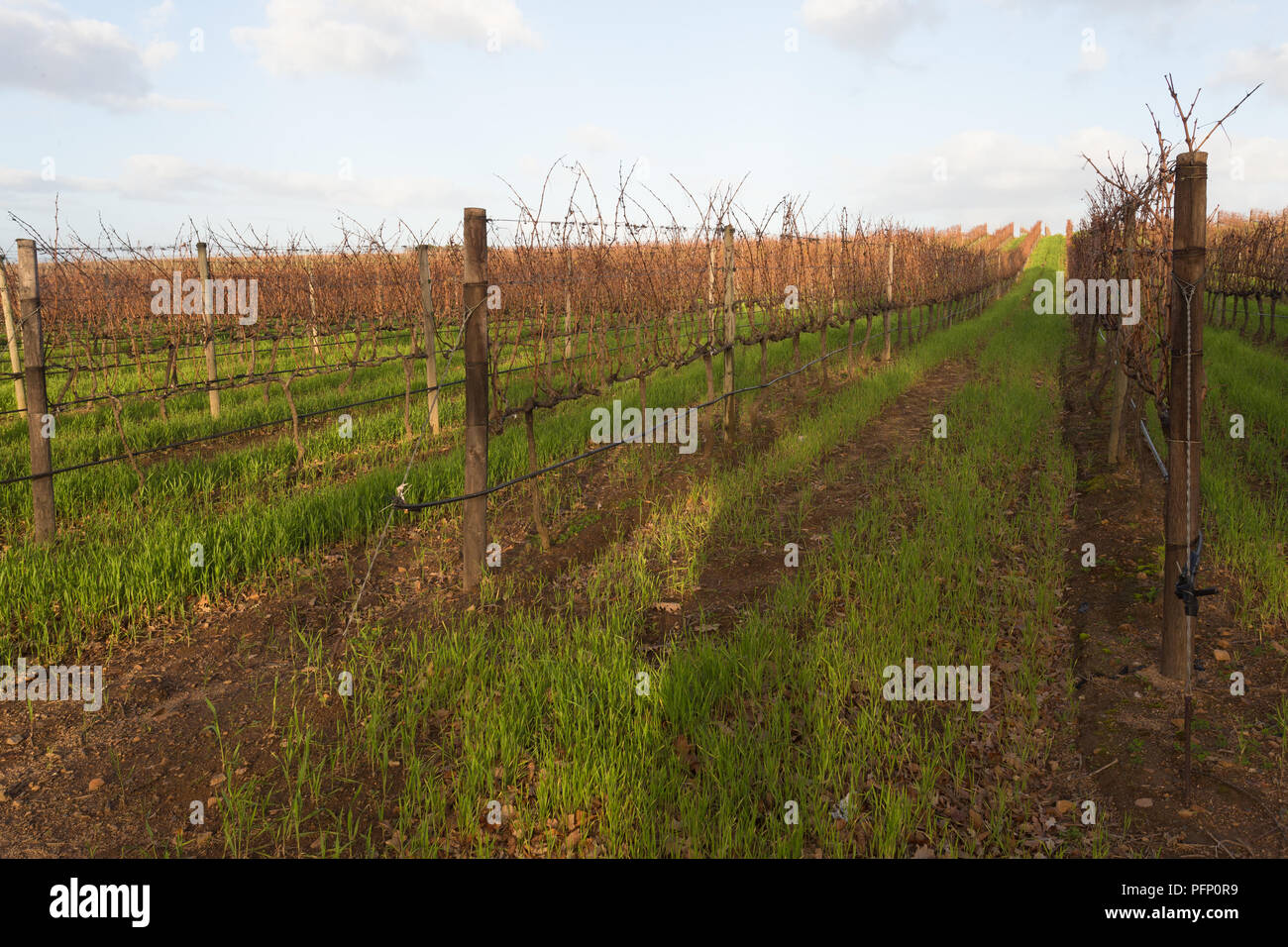 bare grapevines in a vineyard in Winter at Groot Constantia wine estate in Cape Town South Africa Stock Photo