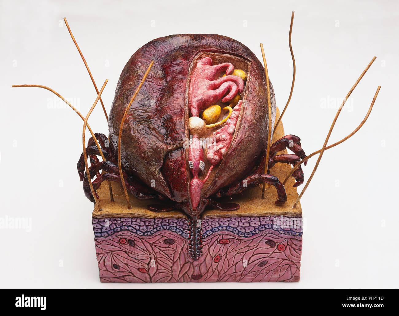 Model of Australian Paralysis Tick feeding on human blood, cross-section showing internal organs including pink midgut, yellow ovaries, white brain in centre, saliva glands and muscular pharynx sucking in blood. - Stock Image