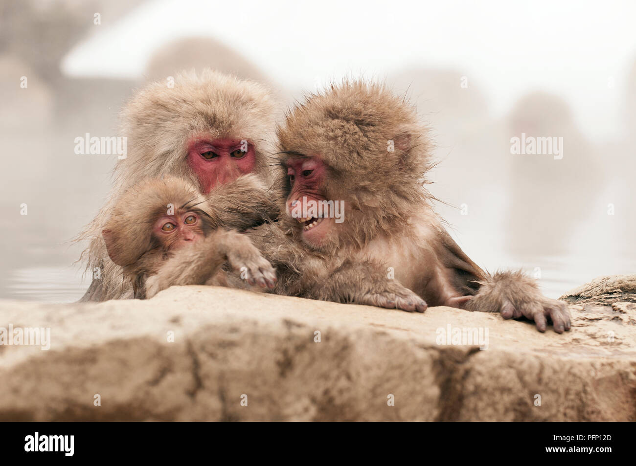 Japanese macaque or snow japanese monkey (Macaca fuscata) family in onsen,Japan Stock Photo
