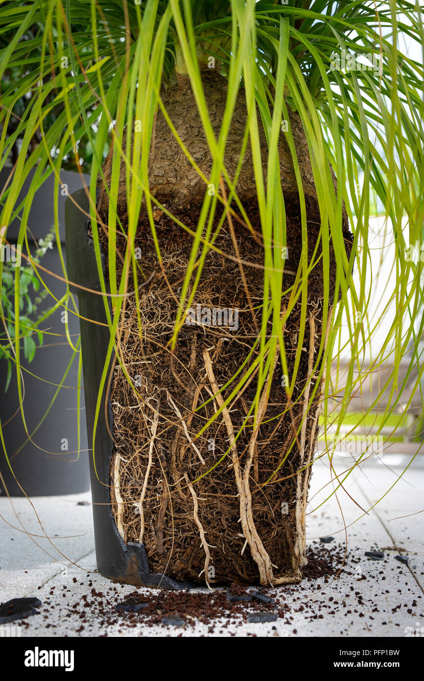 Pot broken by roots of a Beaucarnea recurvata because it was become too small.  Beaucarnea recurvata ayant fait éclater son pot devenu trop petit. - Stock Image
