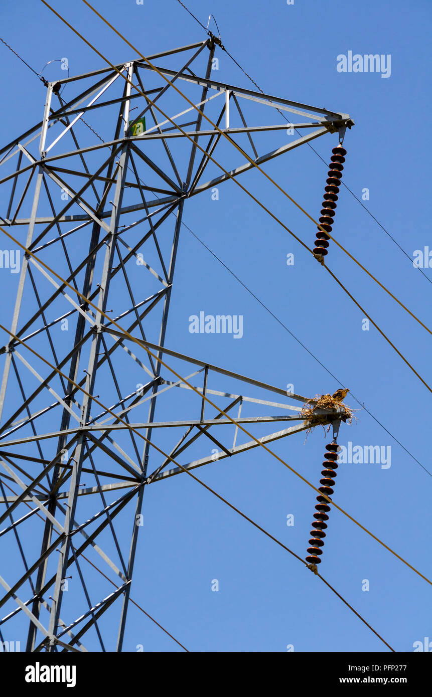 Young hawks in nest on high voltage utility pole, Aurora Colorado US. - Stock Image