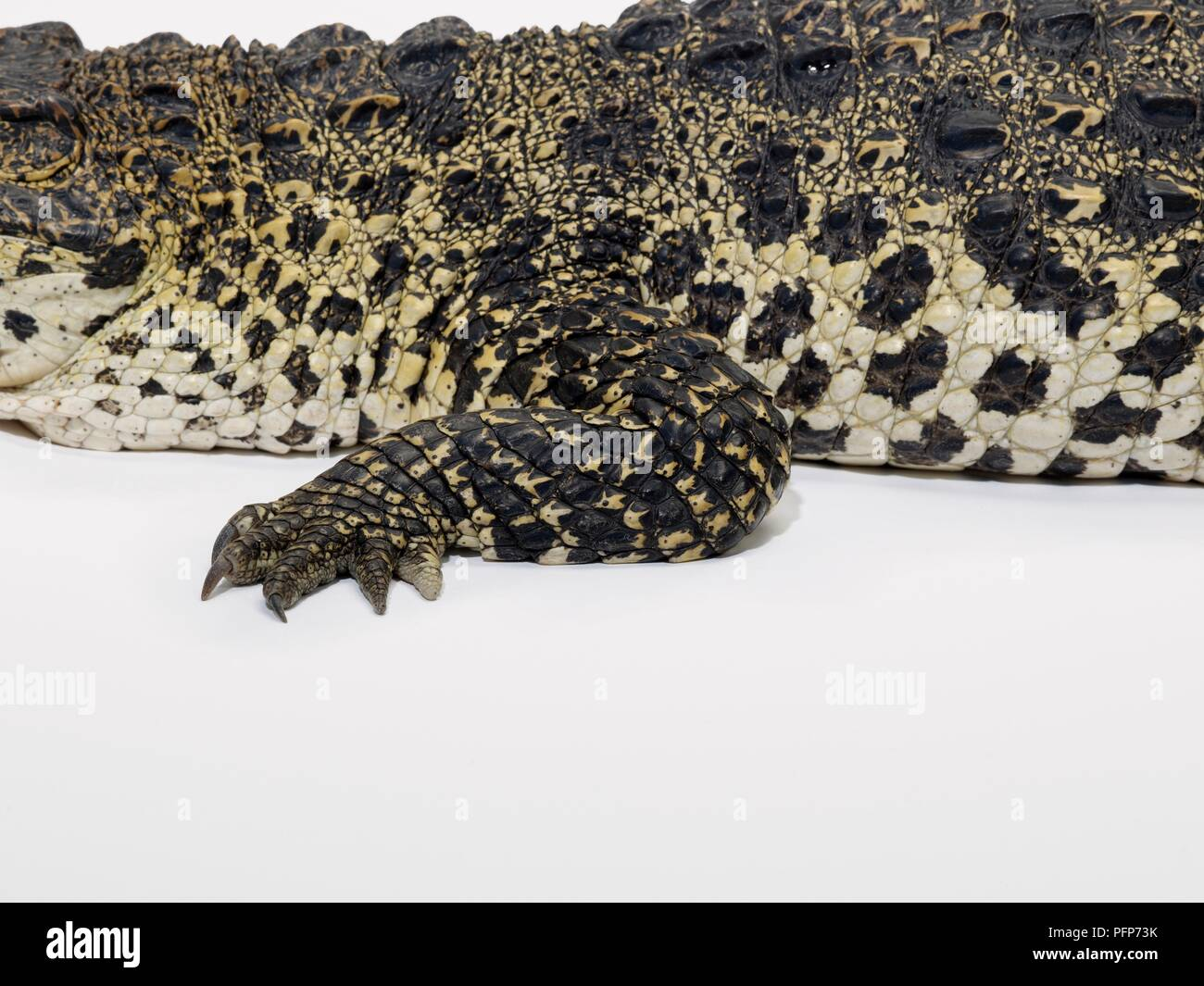 Cuban Crocodile (Crocodylus rhombifer) skin, leg and foot showing natural pattern - Stock Image