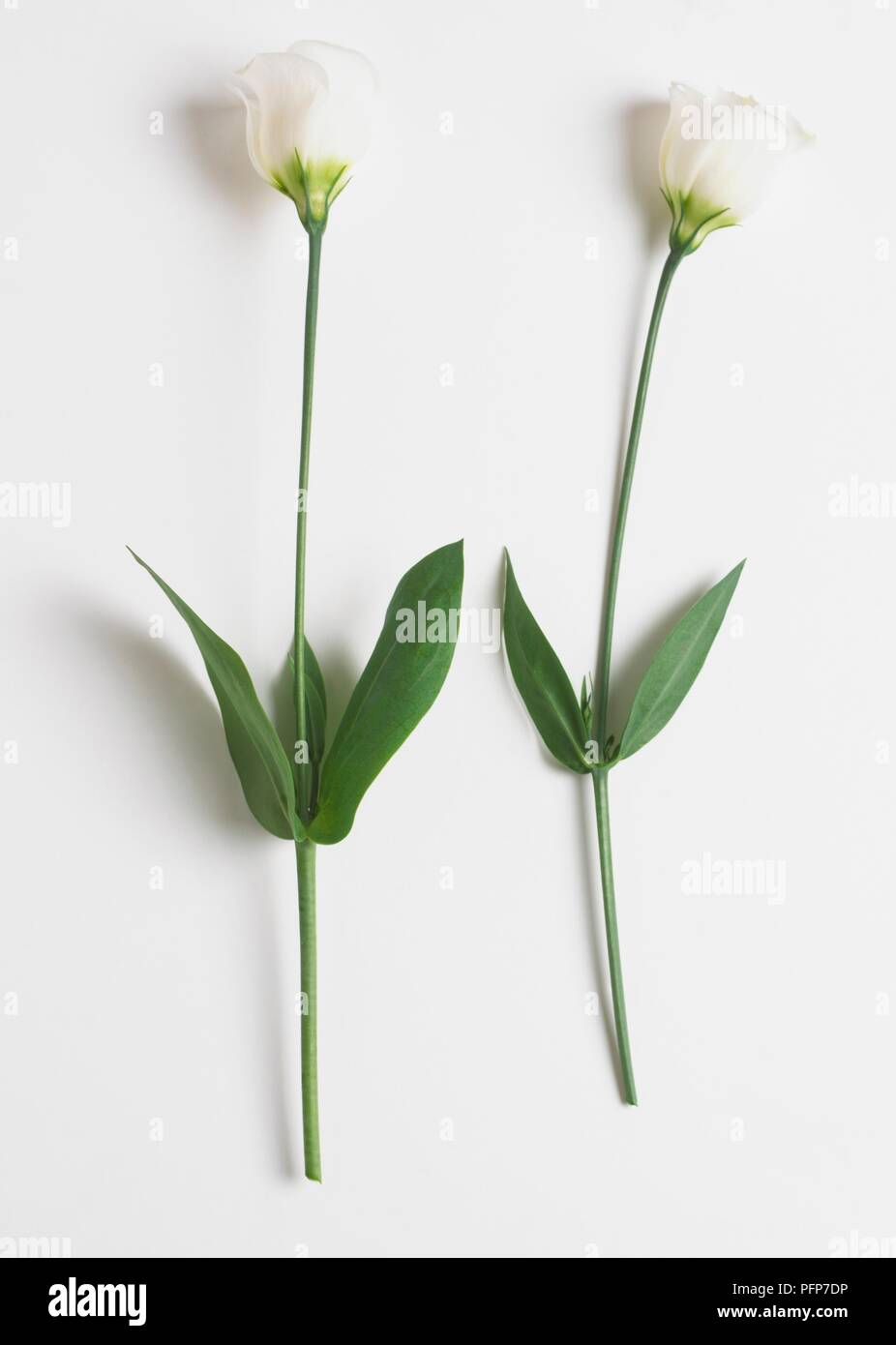Two white Eustoma grandiflorum - Stock Image