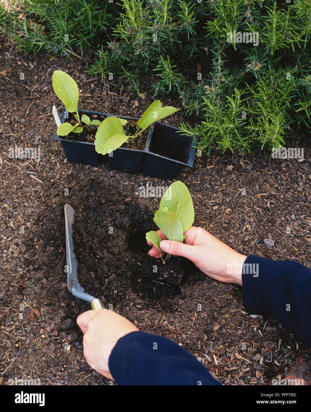 Using trowel to plant Armoracia rusticana, syn. Cochlearia armoracia (horseradish) seedling in compost and soil next to lavender - Stock Image