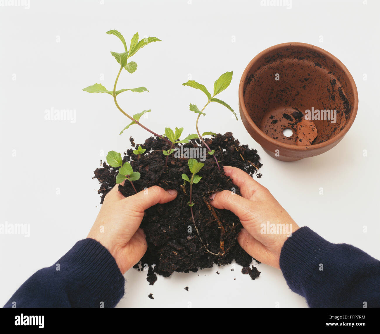 Plant De Menthe En Pot pulling apart mint rhizome seedlings in compost near plant