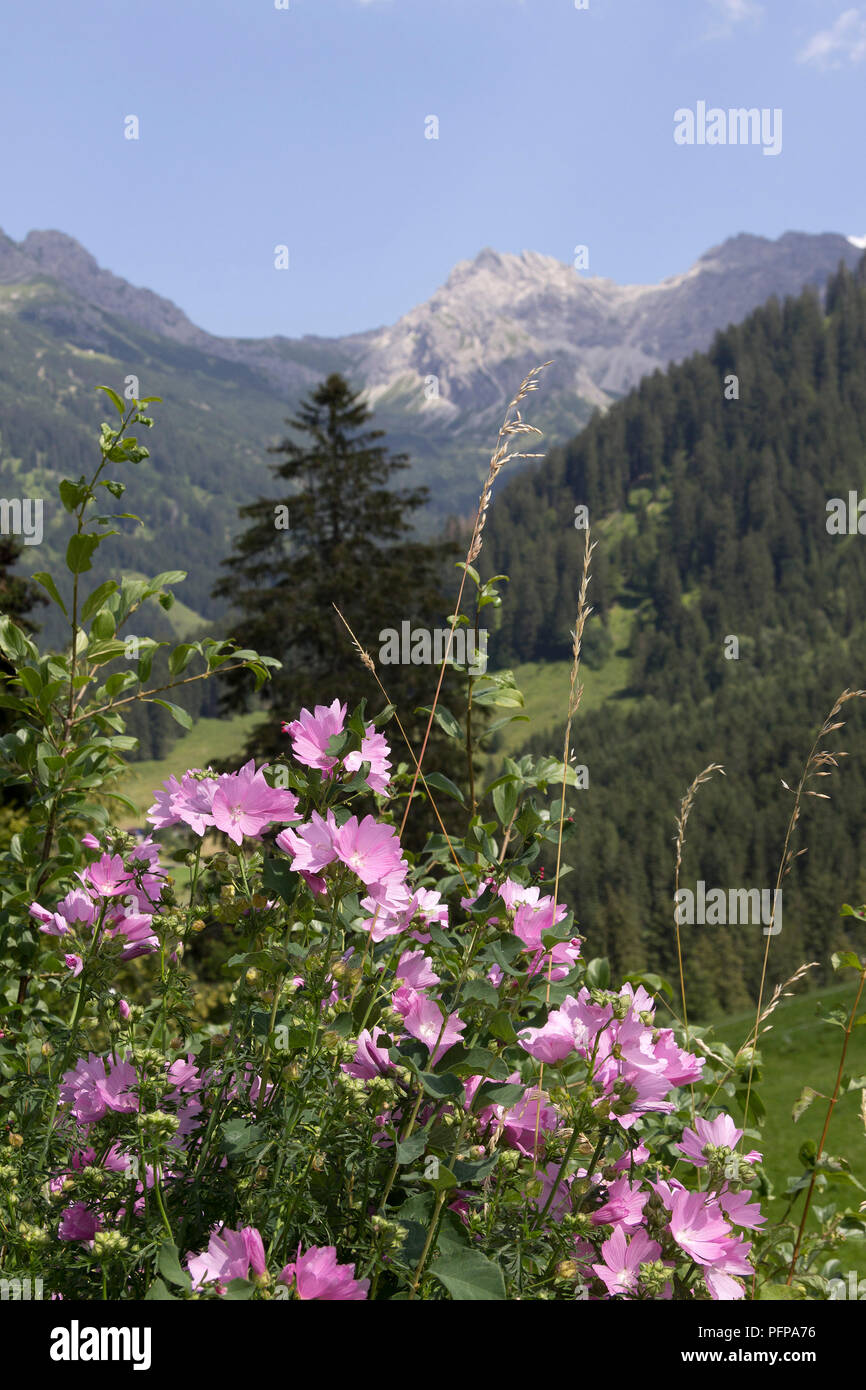 common mallow (Malva sylvestris) near Mittelberg, little Walser valley, Austria Stock Photo