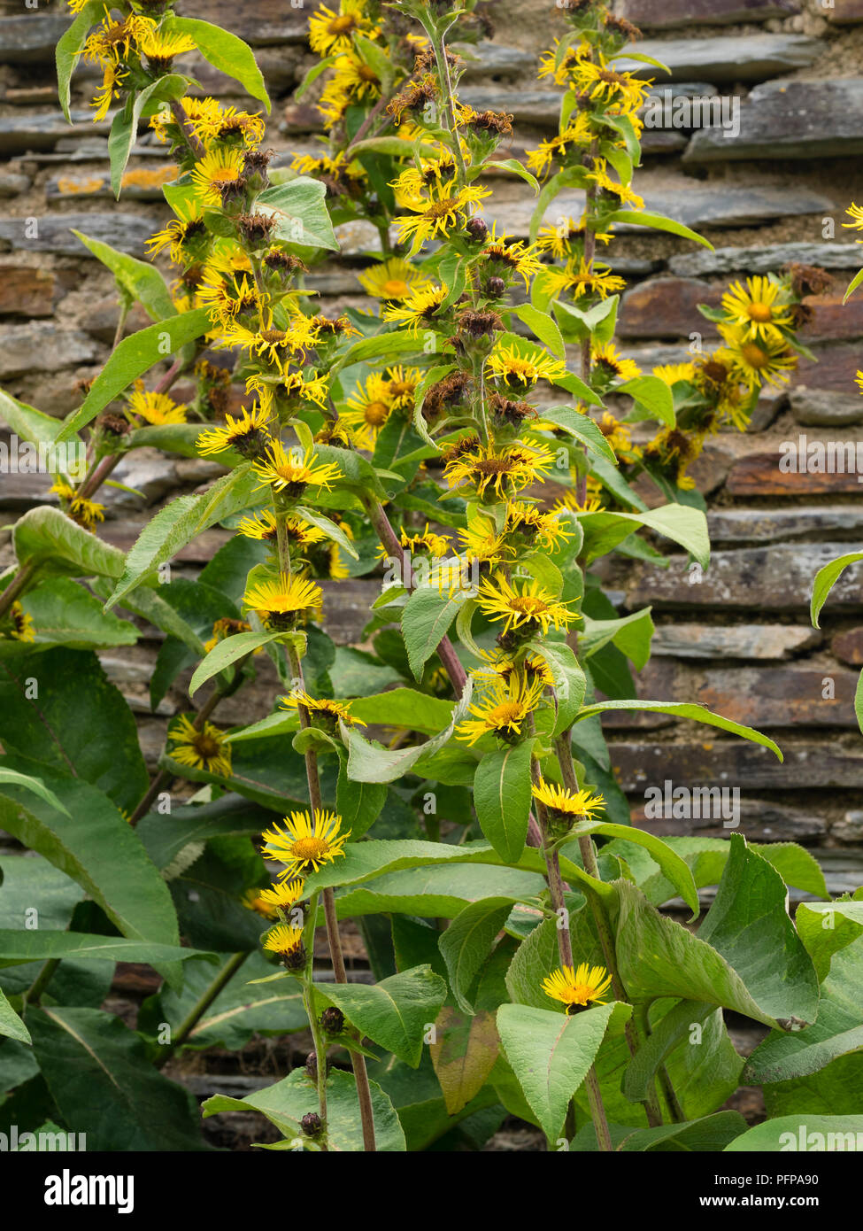 Tall flower spikes stock photos tall flower spikes stock images tall spikes with yellow daisy flowers at each leaf axil of the indian elecampane inula izmirmasajfo