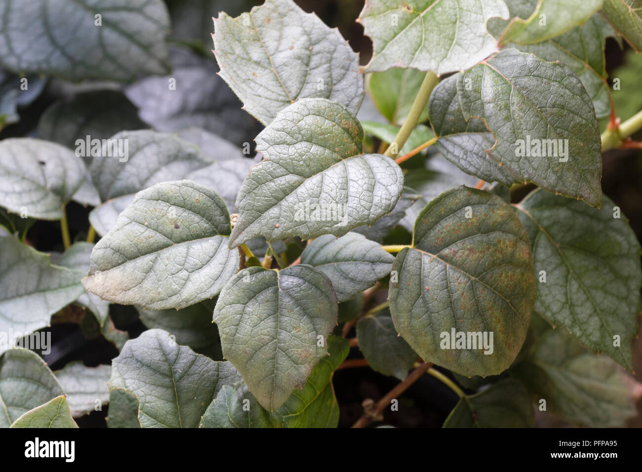 Silvery deciduous foliage of the self clinging hardy climber, Schizophragma hydrangeoides 'Moonlight' - Stock Image