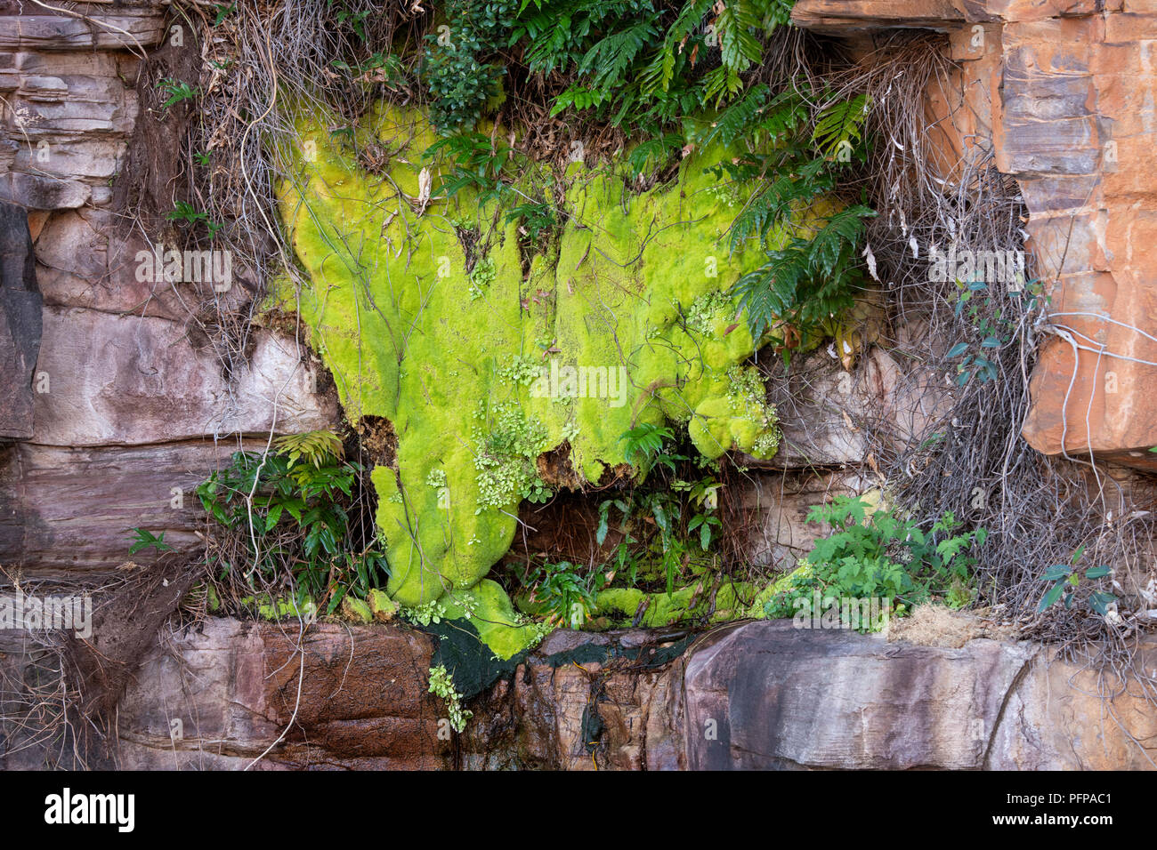 Australia, Western Australia, King George River, Koolama Bay. Micro climate with moss, ferns, etc. growing on the rocky cliffs. - Stock Image