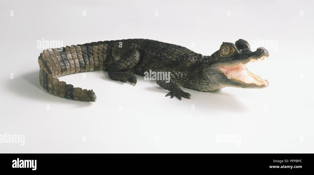 Spectacled Caiman (Caimanus crododilus) with its jaws open, side view - Stock Image