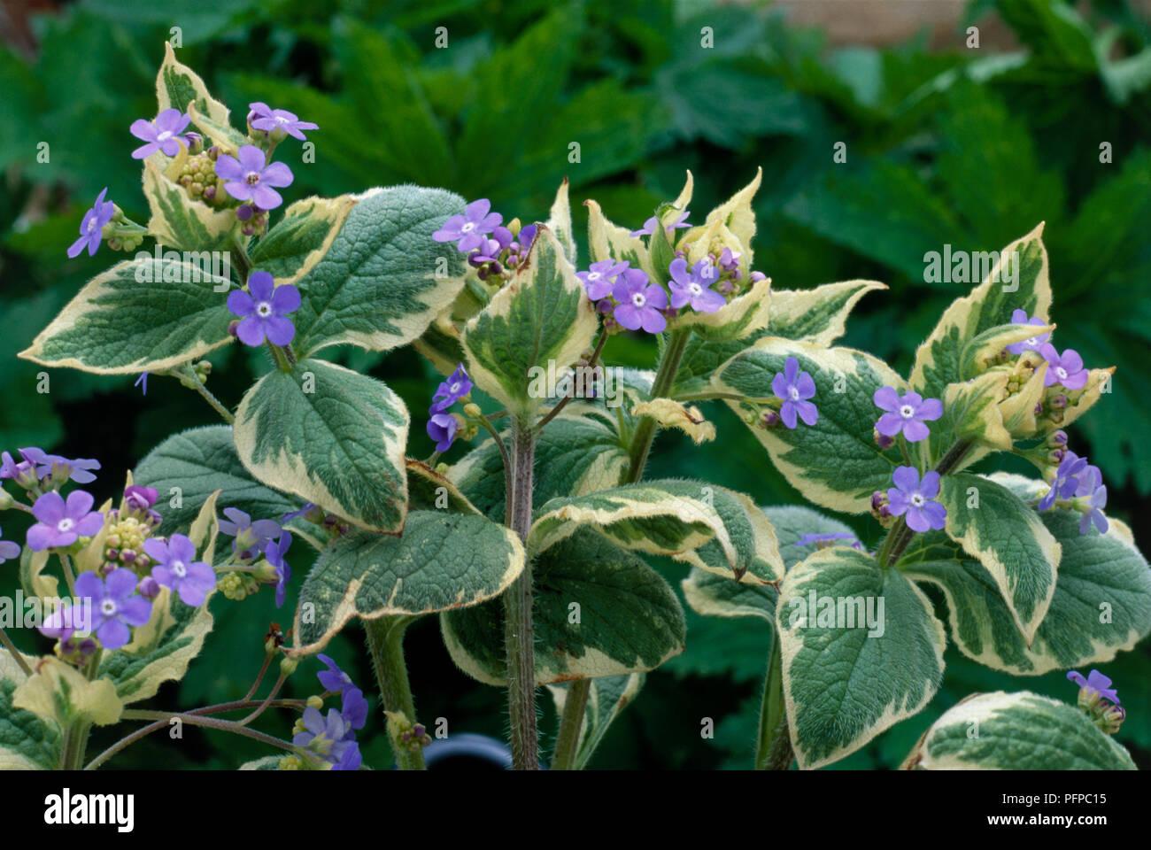 Brunnera Macrophylla Dawsons White Siberian Bugloss Perennial