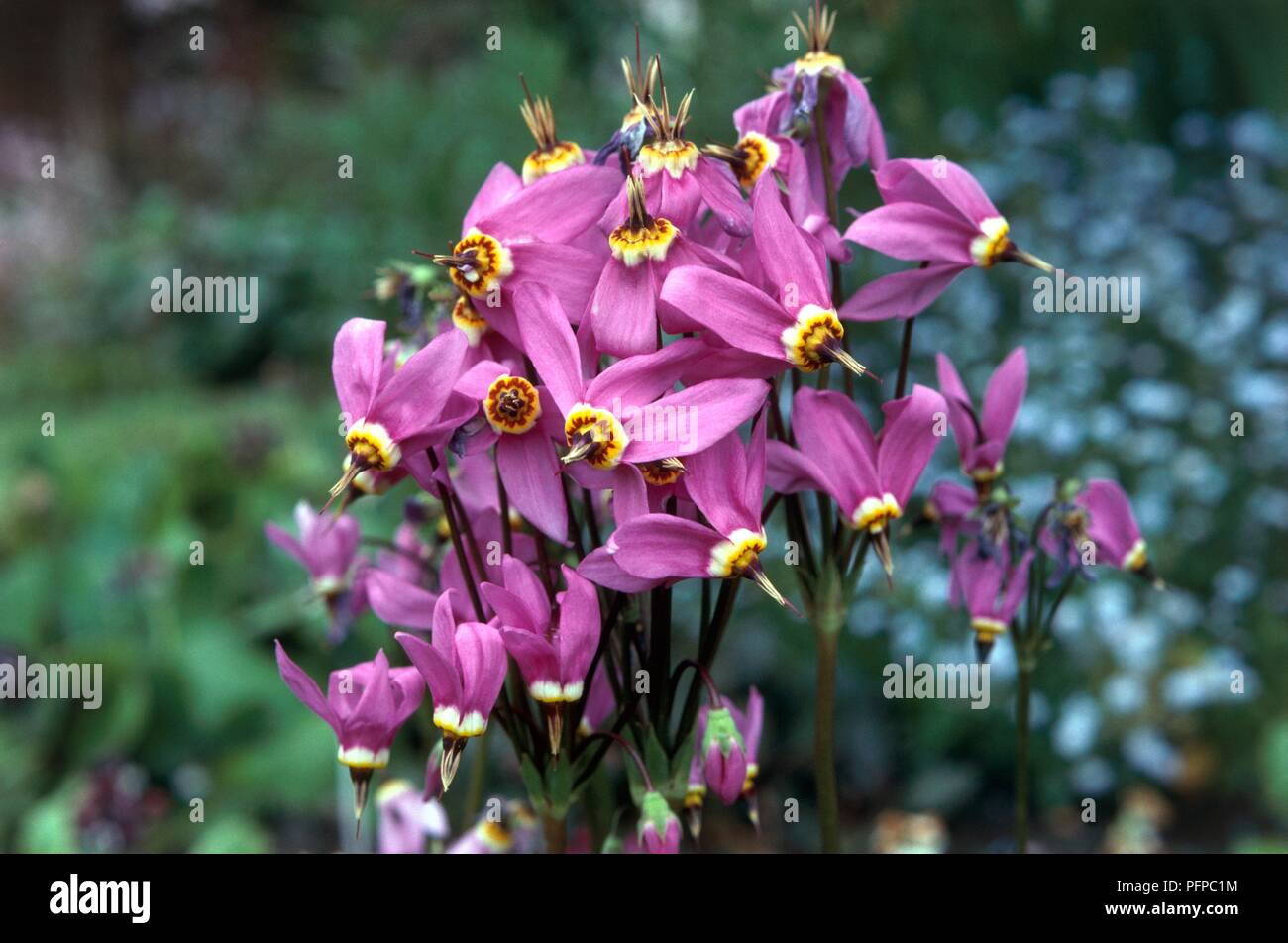 Dodecatheon meadia (Shooting star), purple flowers, close-up - Stock Image