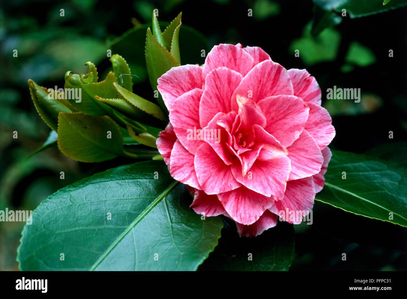 Camellia Japonica Vittorio Emanuele Ii Japanese Camellia Pink