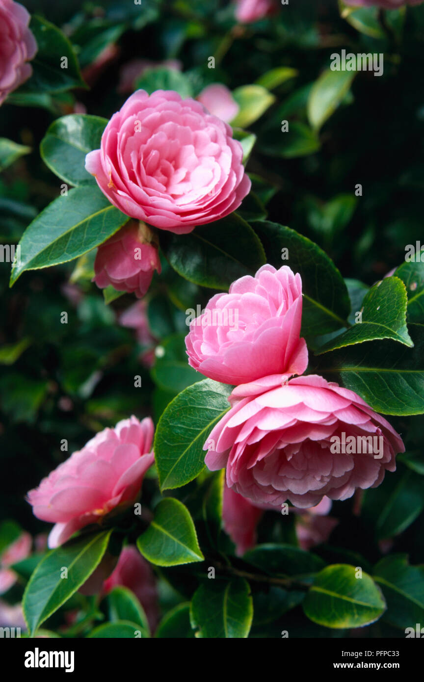 Camellia x williamsii 'E. G. Waterhouse', pink flowers and evergreen leaves, close-up - Stock Image