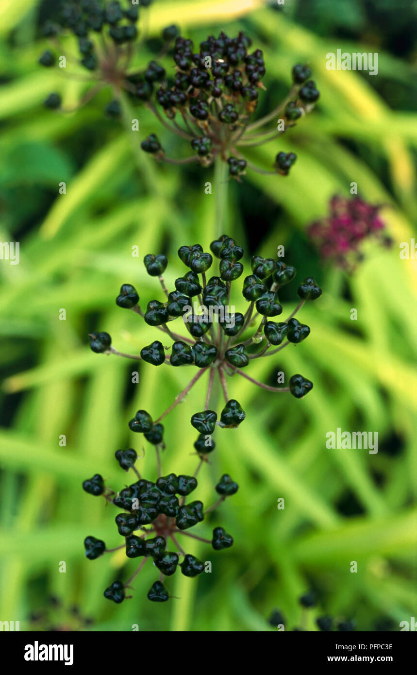 Allium wallichii, fruits, close-up - Stock Image