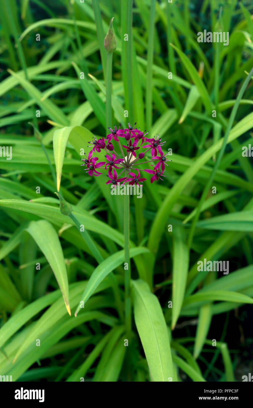 Allium wallichii, purple flower head surrounded by green leaves, close-up - Stock Image