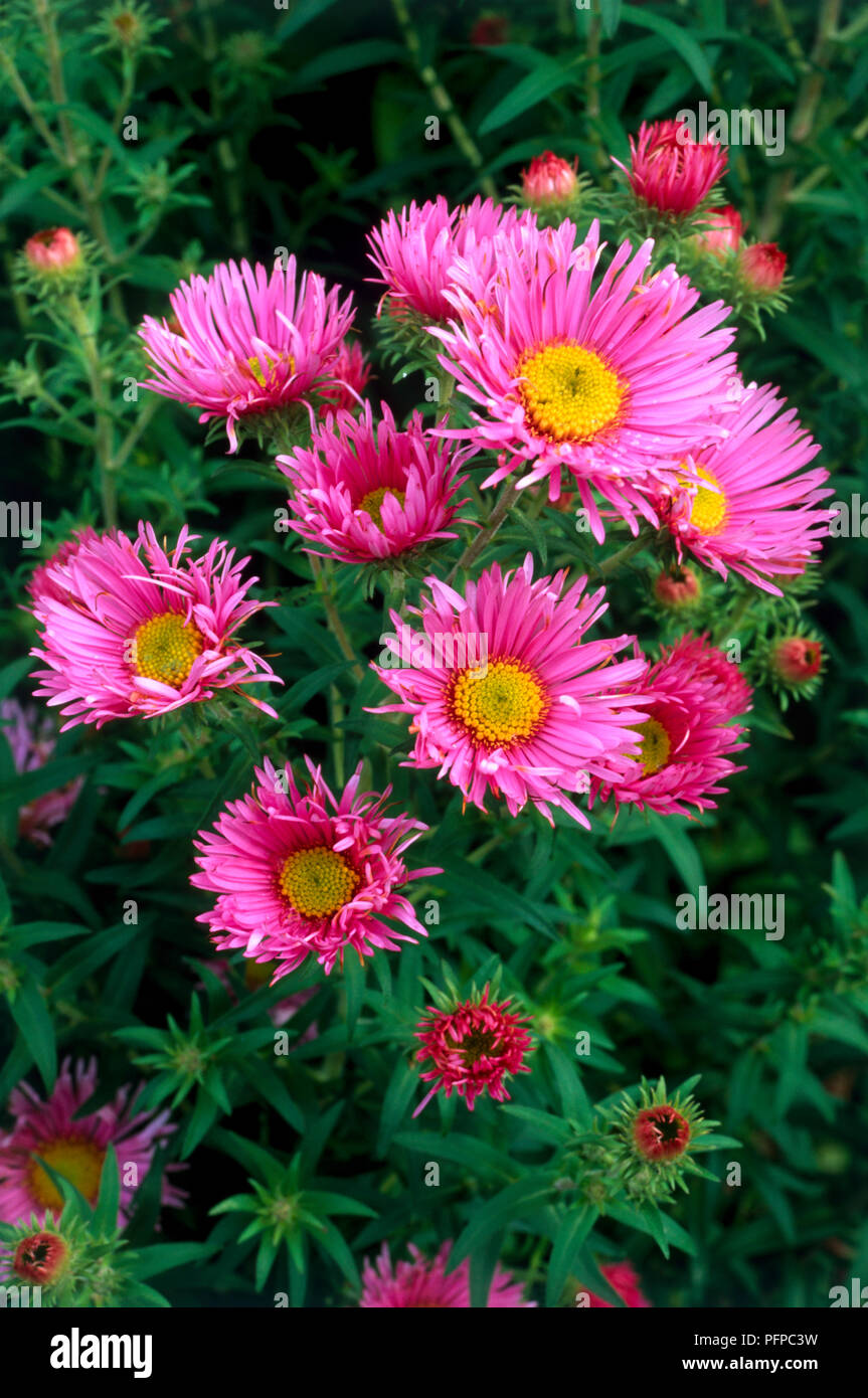 Aster novae-angliae 'Rosa Sieger', flowers, unfurled and unfurling buds, corymb-like sprays, ray-florets, disc florets and green leaves, close-up - Stock Image