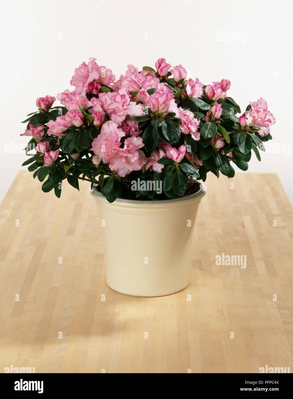 Rhododendron Simsii Azalea With Pink Blossom In Ceramic Plant Pot