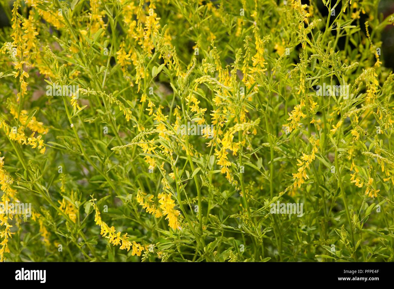 Melilotus Melilot Sweet Clover With Abundance Of Tiny Yellow