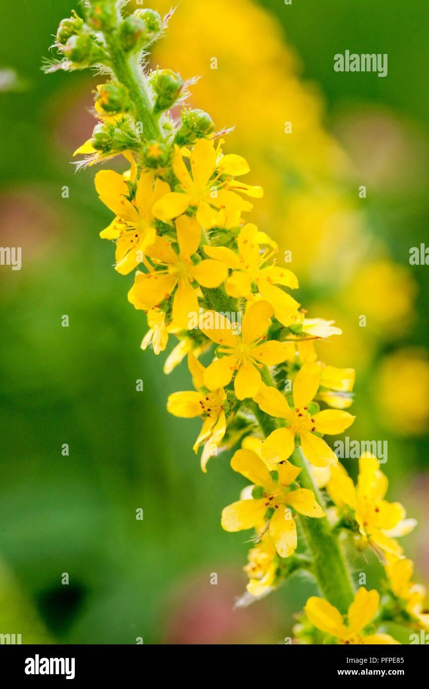 Agrimonia Eupatoria Common Agrimony Sticklewort Small Yellow