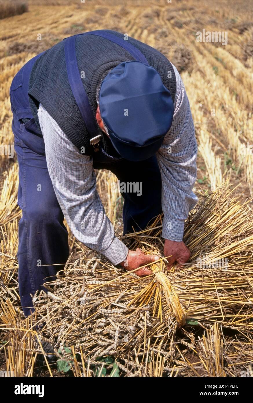 Man tying up bundles of wheat - Stock Image