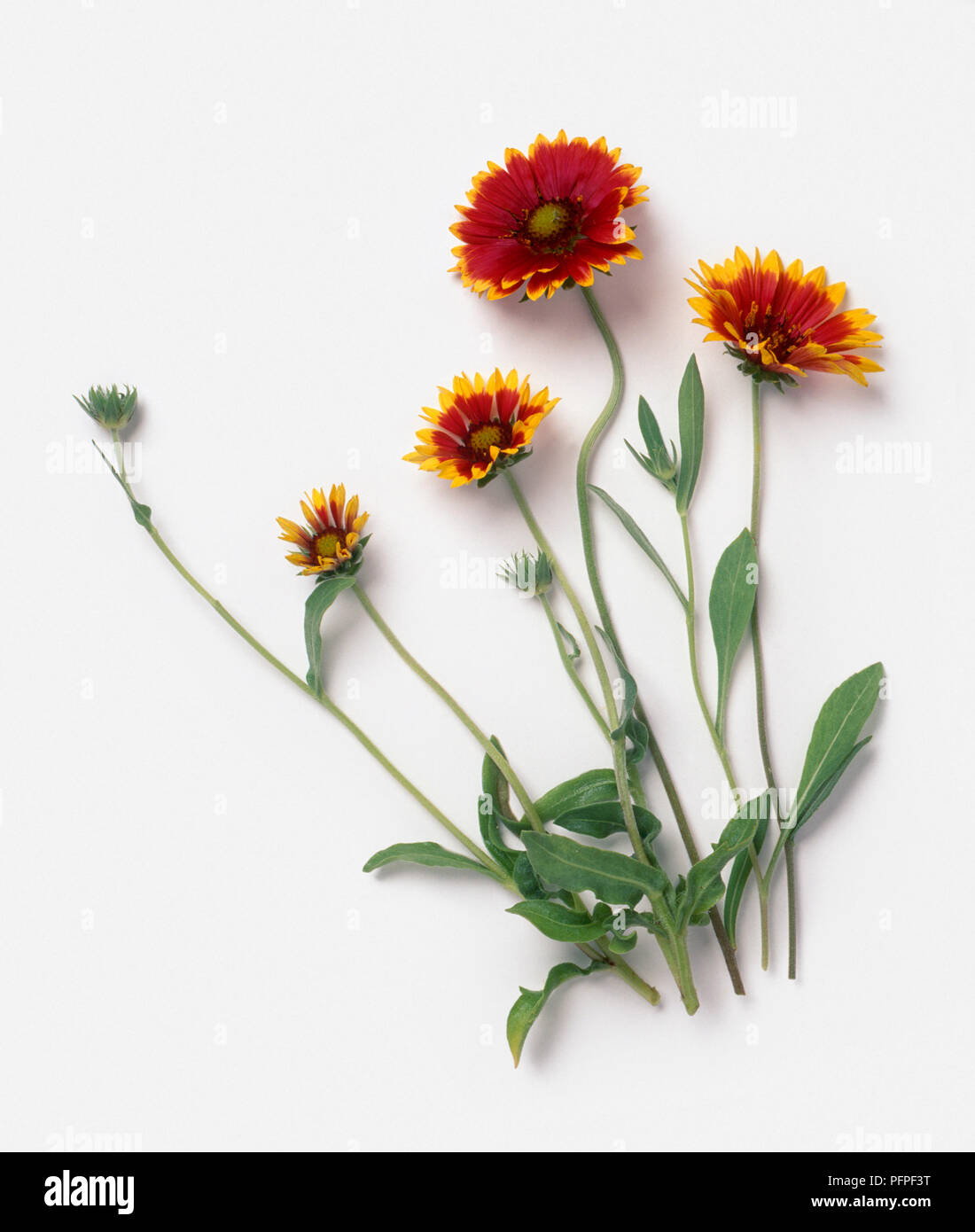 Gaillardia Dazzler With Red And Yellow Flowers Buds And Green Leaves On Long Stems Stock Photo Alamy