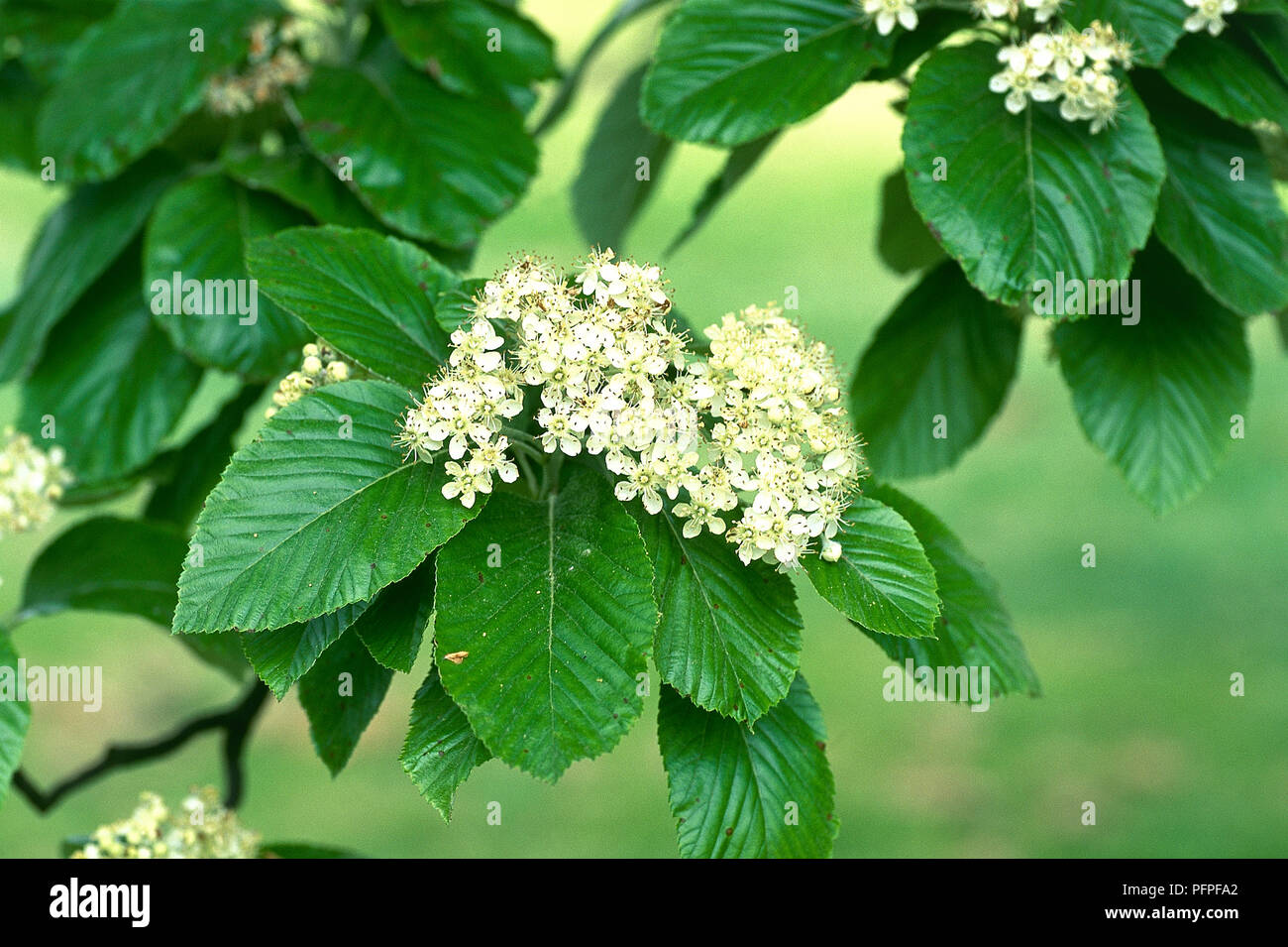 Sorbus Aria Whitebeam With Glossy Green Leaves With Clusters Of