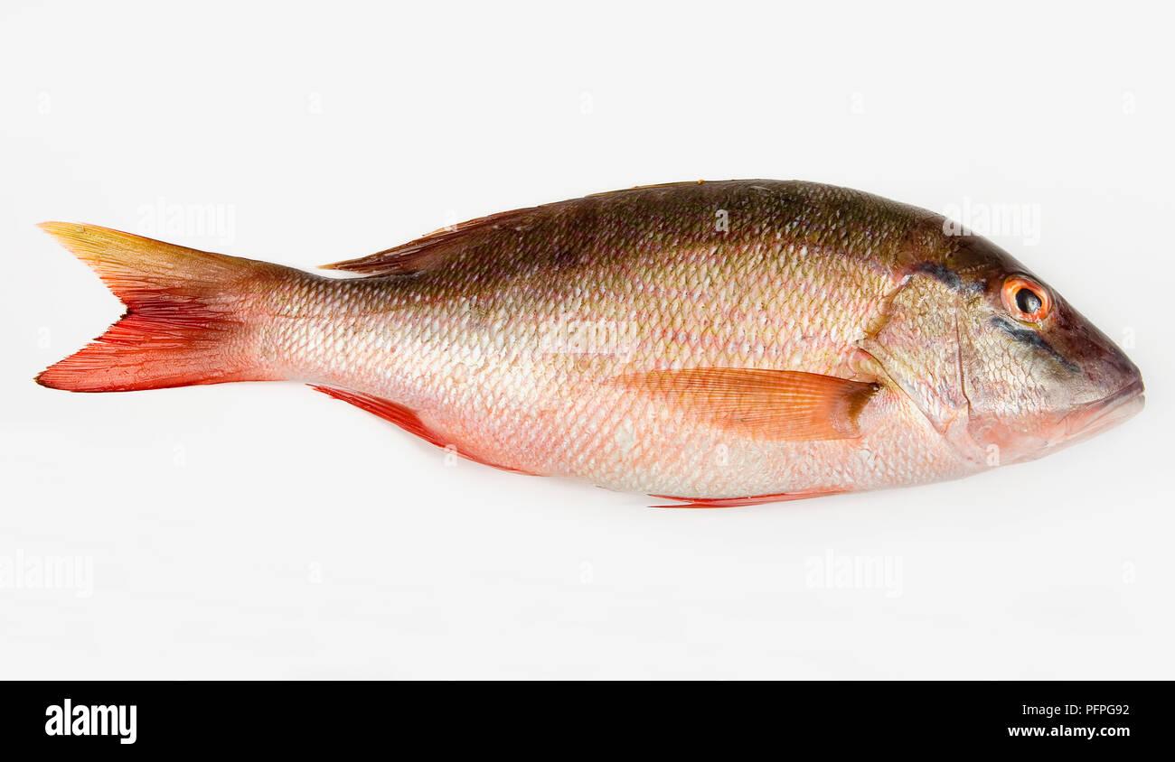 Whole raw Snapper fish Stock Photo