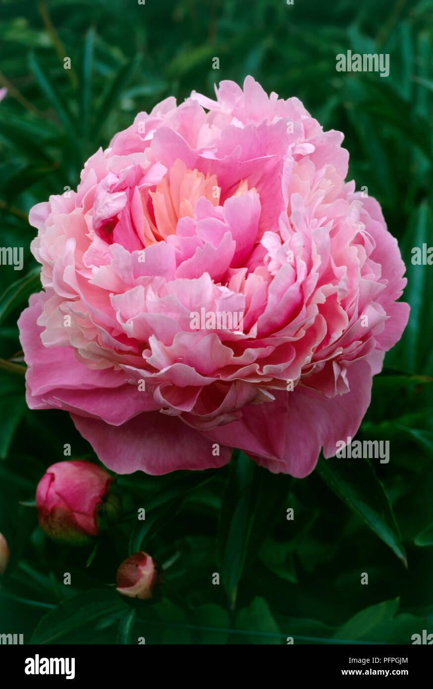 Paeonia Lactiflora Madame Ducel Chinese Peony Pink Flower Head