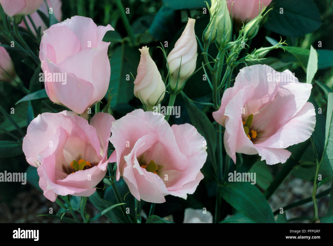 Eustoma grandiflorum Yodel Series (Texan bluebell), Lizianthus, pink flowers, unopened and unfurling buds, close-up - Stock Image