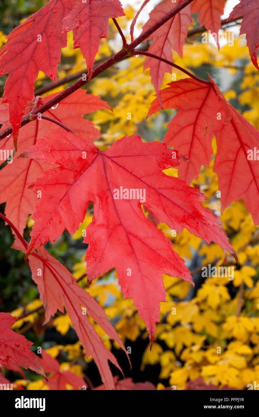 Acer X Freemanii Autumn Blaze Jeffersred Red Autumn Leaves