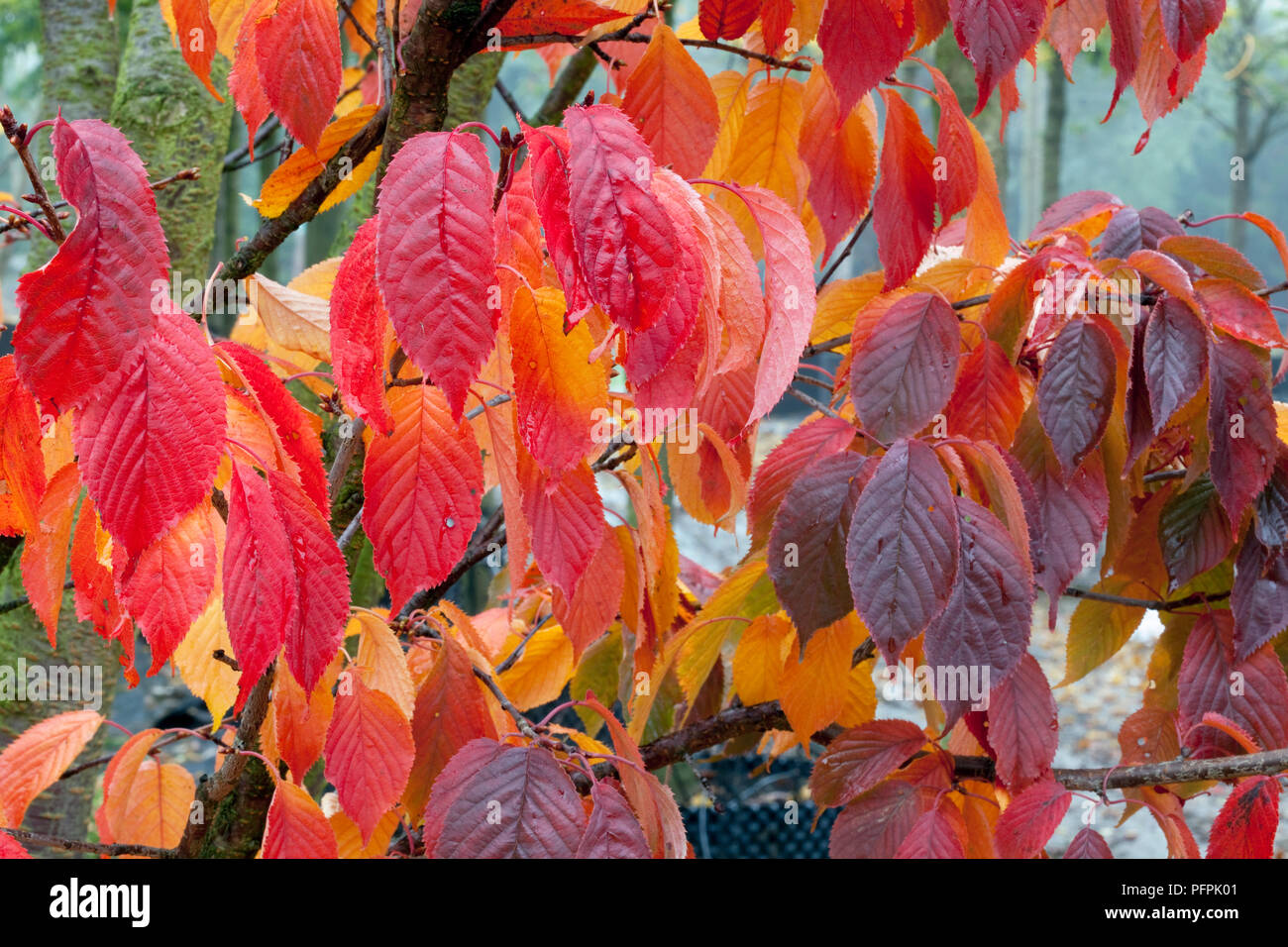 Prunus sargentii 'Rancho' (Sargent's cherry), red leaves Stock Photo