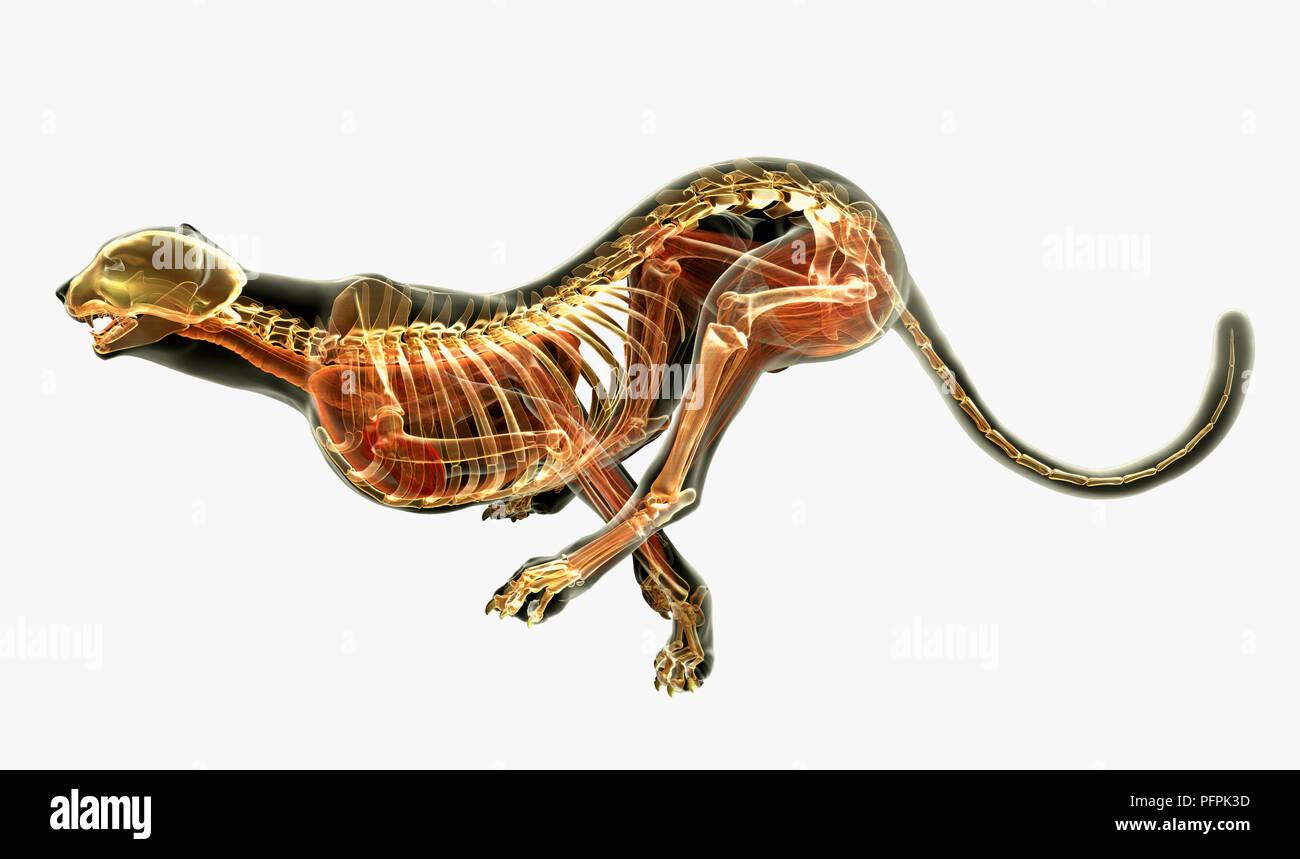 Illustration, anatomy of Cheetah (Acinonyx jubatus Stock Photo ...