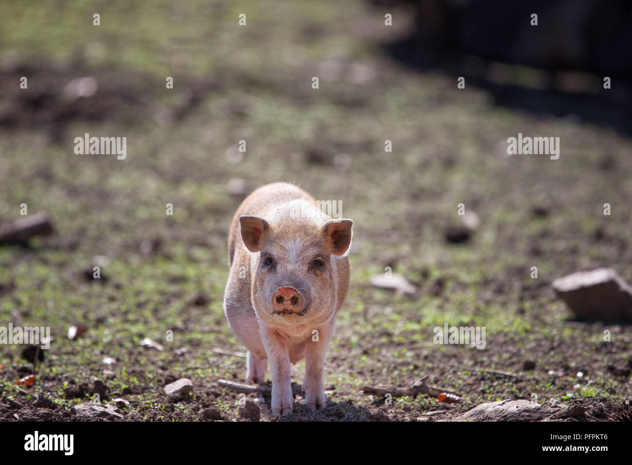 Domestic pig, Sus scrofa domesticus                                                    Frontal image of Piglet - Stock Image