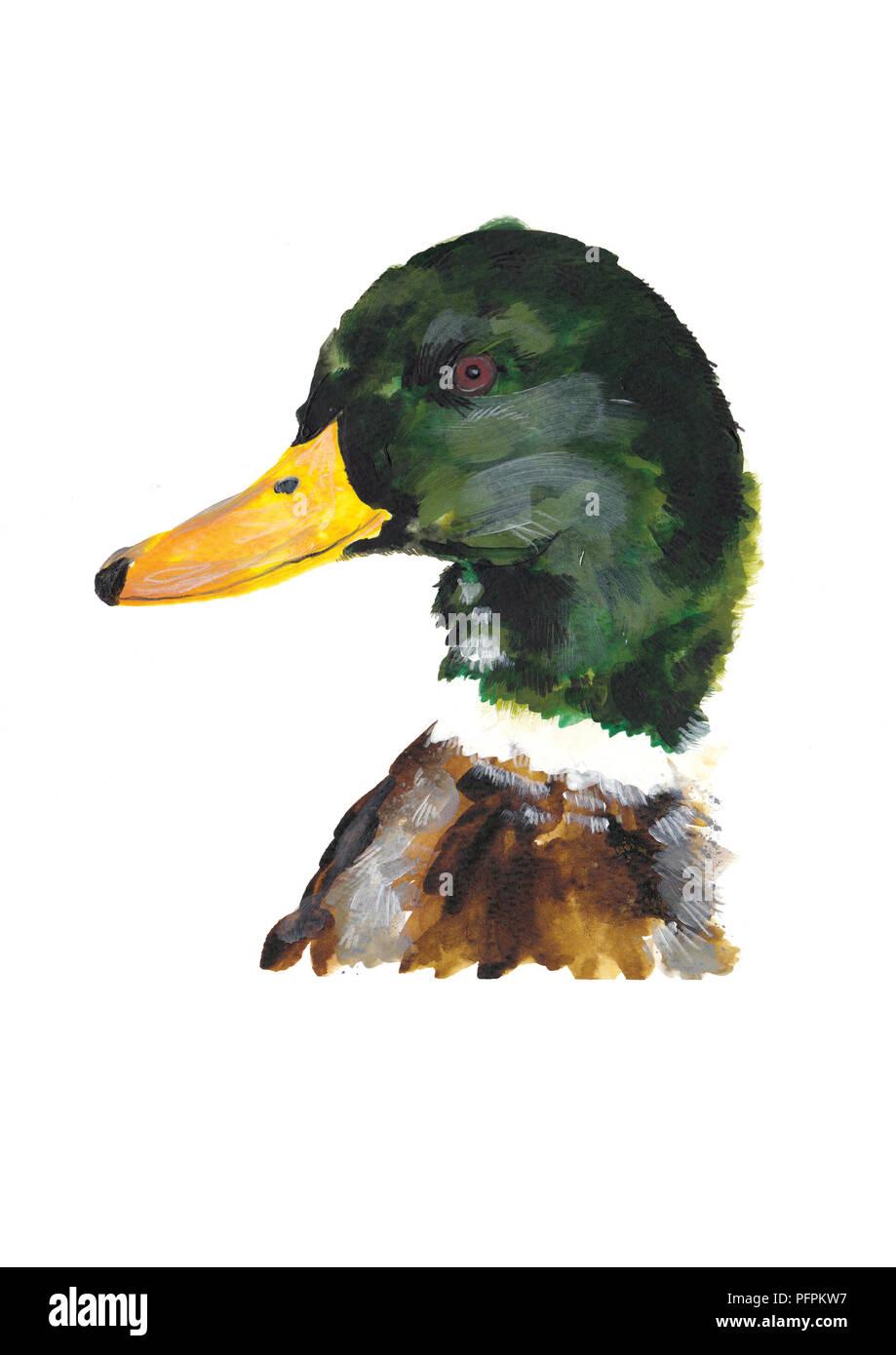 Duck - Stock Image