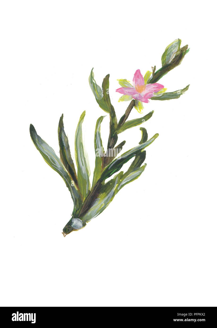 Sea spurrey flowers - Stock Image