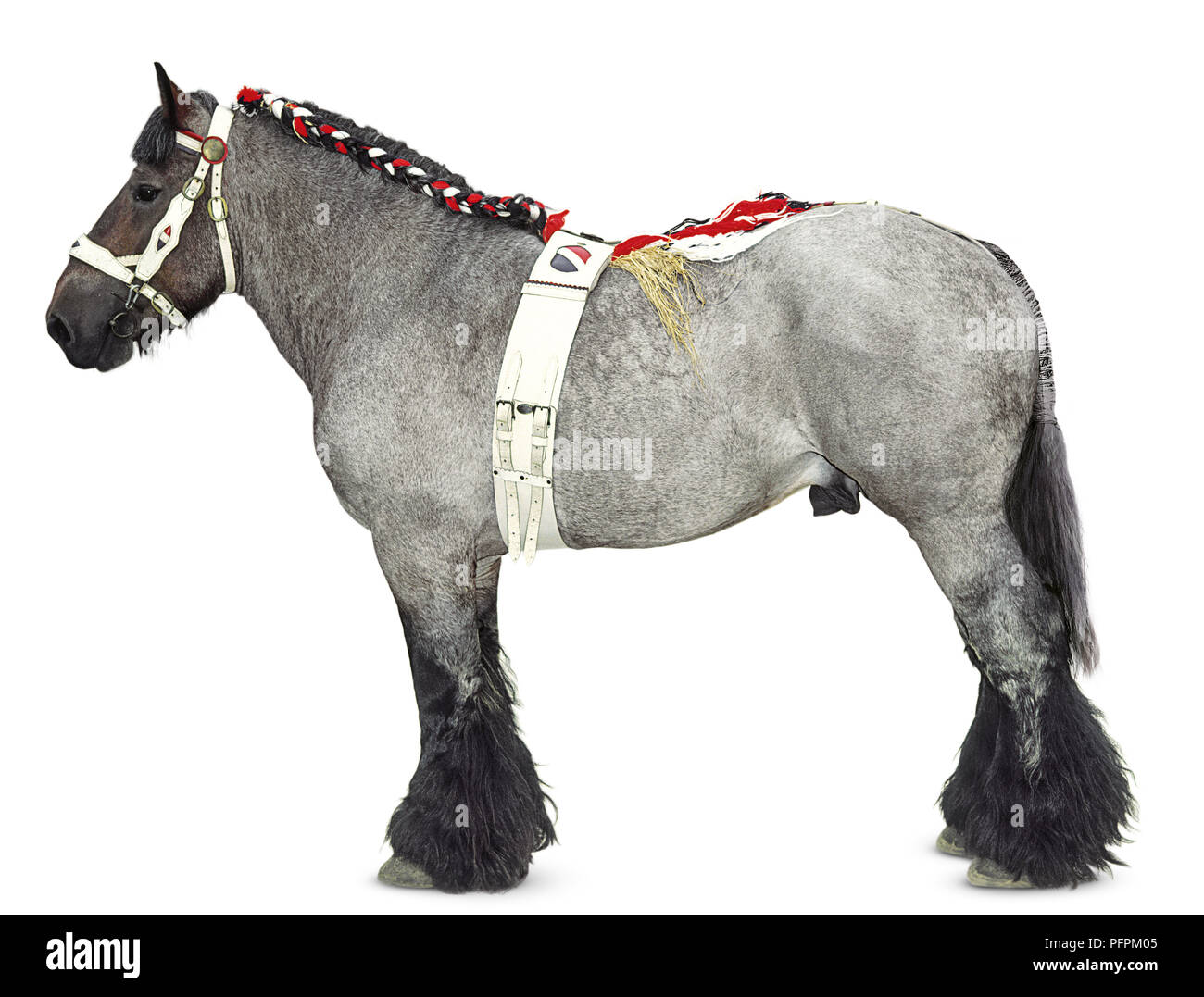 Dutch draught horse wearing a bridle, girth and plaited mane - Stock Image
