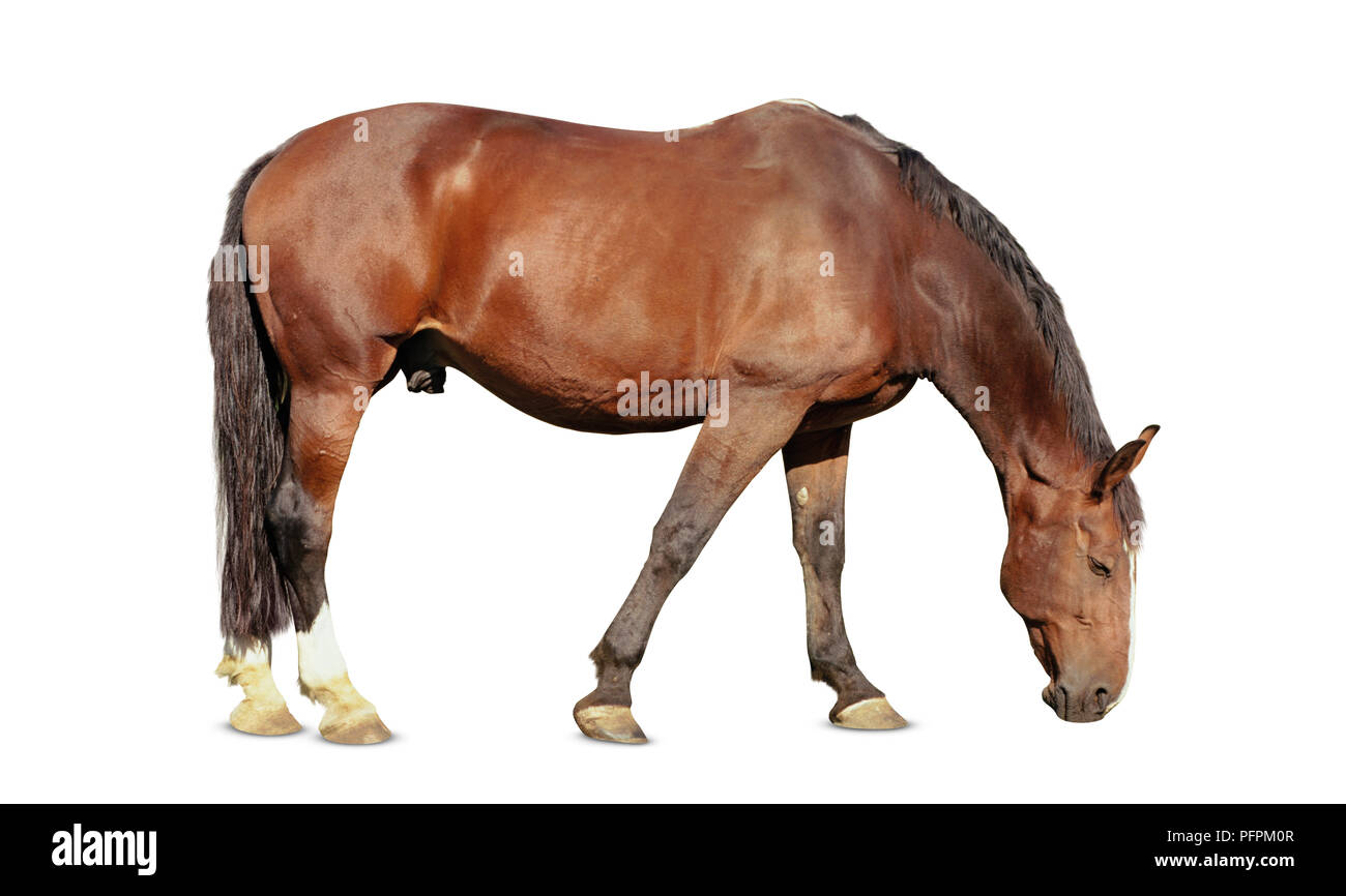 Light bay horse, grazing, side view. - Stock Image
