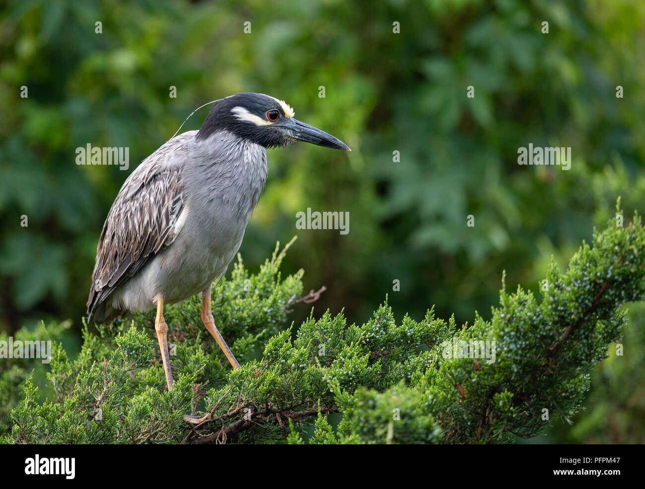 Yellow Crowned Night Heron - Stock Image
