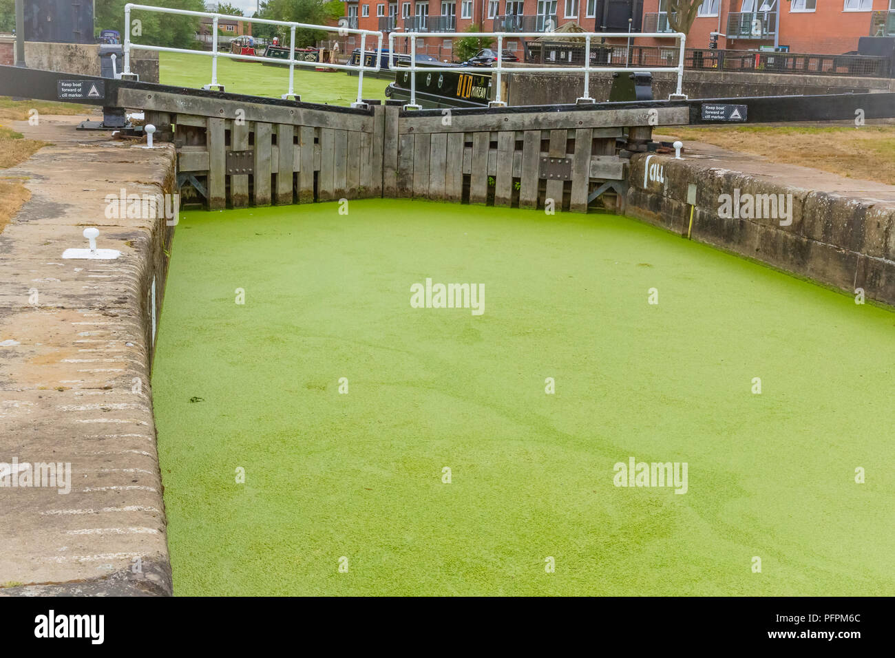 Selby canal and lock in North Yorkshire, UK covered in thick, green algae, pondweed and duckweed causing problems to wildlife and boaters. Horizontal - Stock Image