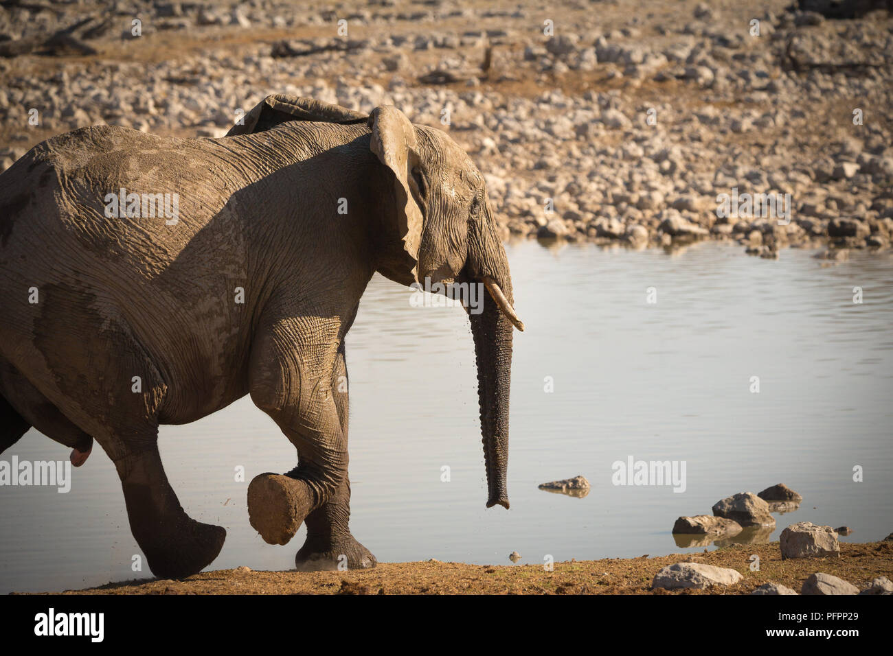 elephant (Loxodonta africana) running or at a trot catching up to the others at Okaukuejo waterhole in Etosha National Park Namibia Stock Photo