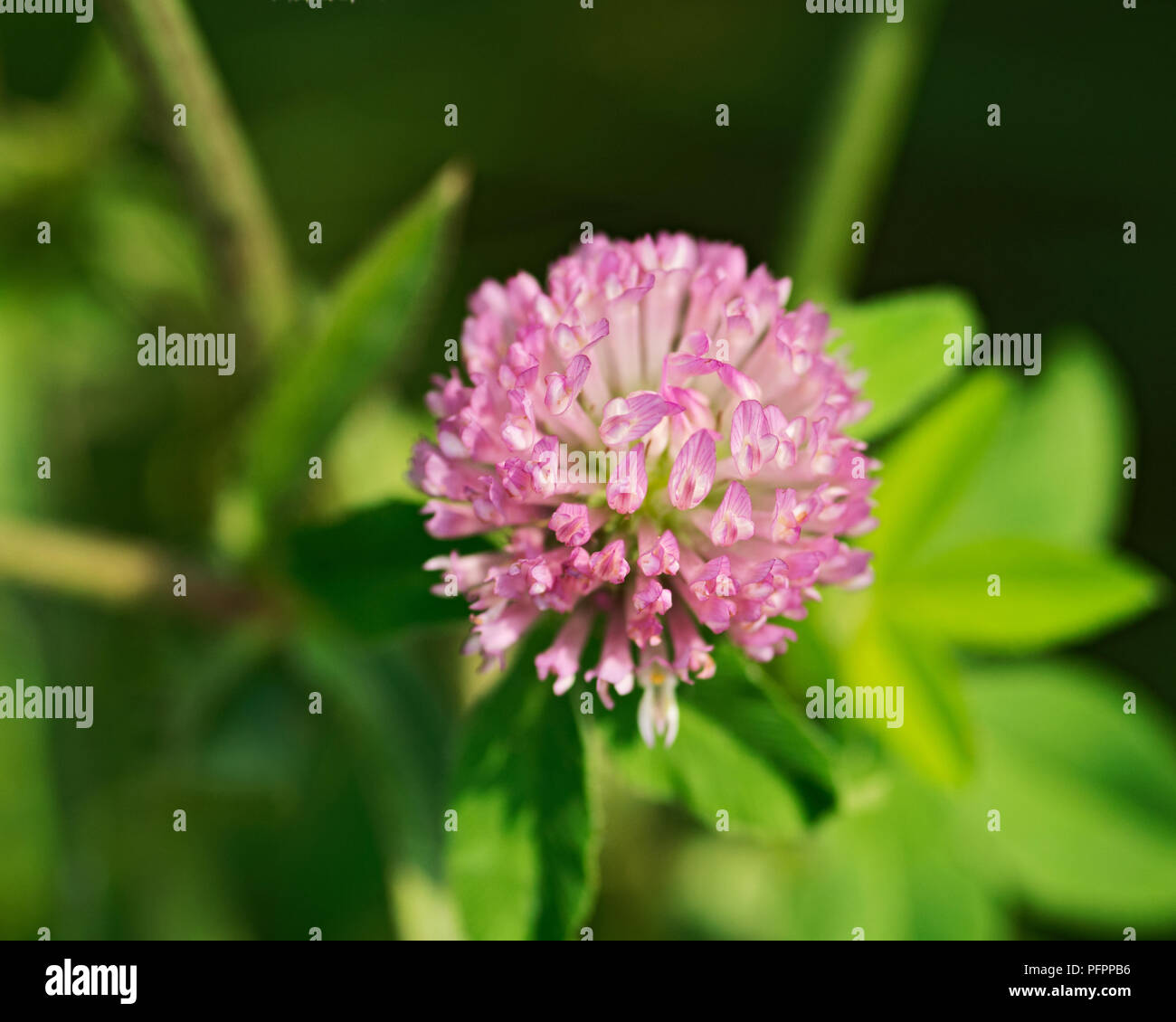 Pink Clover Flower Trifolium Pratense In Sanctuary Park Stock