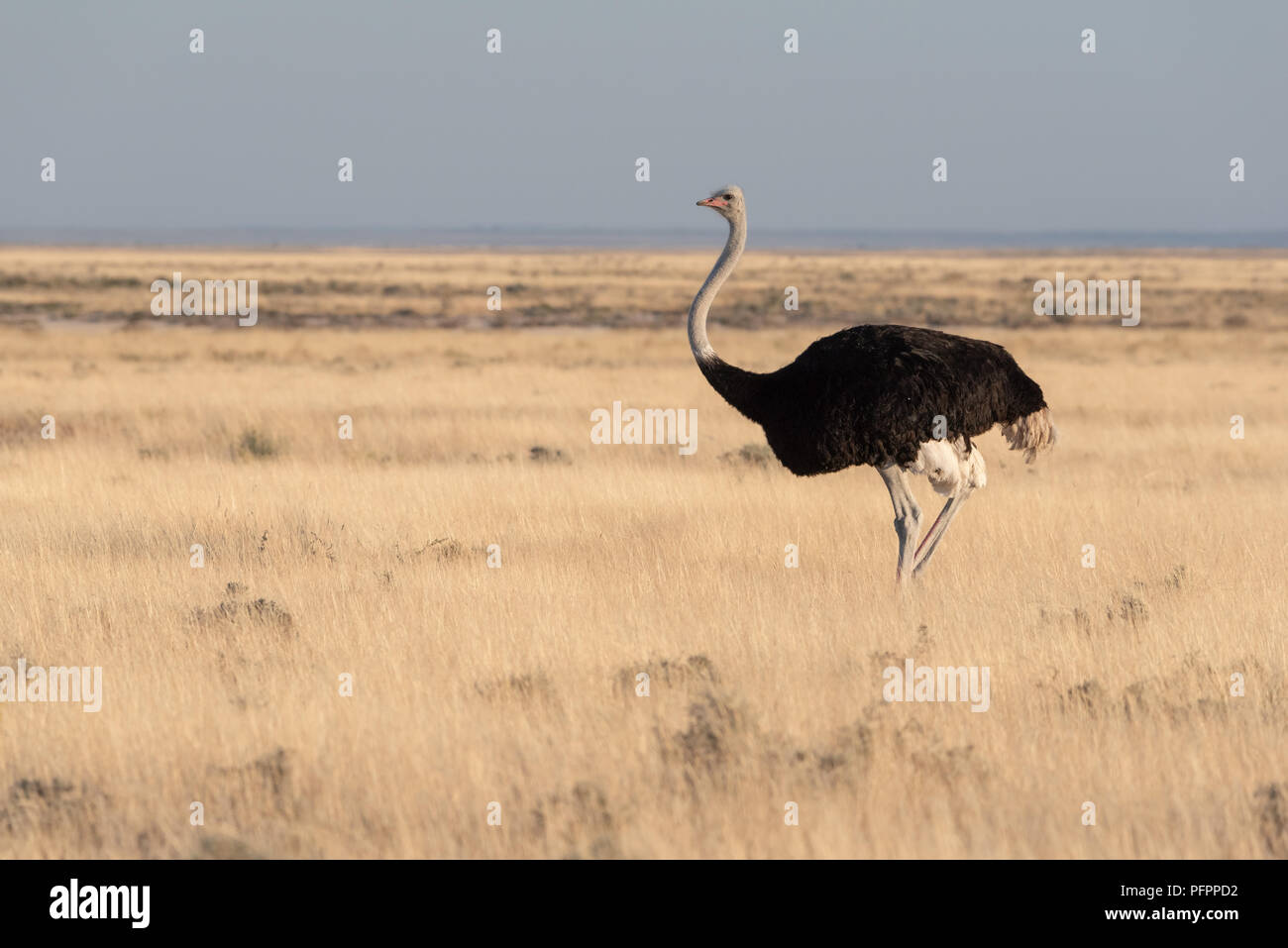 Tall ostrich standing in yellow dry grass looking over namibian savannah with blue sky, Etosha National Park, Namibia - Stock Image